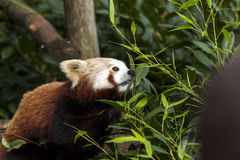 Panda roja salvaje hermosa que forrajea a través de la maleza Fotografía de archivo