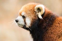 Panda roja VIII fotografía de archivo