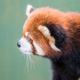 Panda roja XI Fotos de archivo libres de regalías