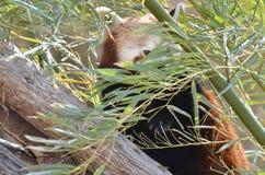 Panda roja y bambú 2 Fotografía de archivo