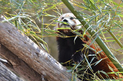 Panda roja y bambú 3 Fotografía de archivo