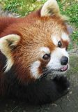 Panda rosso immagini stock