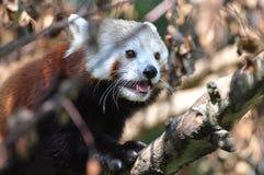 Panda rosso al giardino zoologico di Dublino Immagini Stock