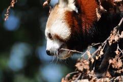 Panda rosso al giardino zoologico di Dublino Fotografia Stock Libera da Diritti