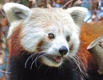 Panda rosso al giardino zoologico di Dublino Immagine Stock