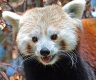 Panda rosso al giardino zoologico di Dublino Immagini Stock Libere da Diritti