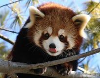 Panda rosso che lecca il suo radiatore anteriore Fotografie Stock Libere da Diritti