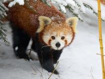 Panda rosso nella neve Immagine Stock