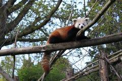 Panda rosso sveglio Immagine Stock