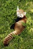 Panda rouge Photographie stock libre de droits