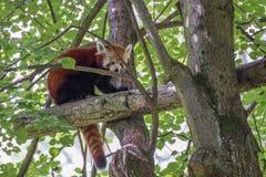 Panda rouge Images libres de droits