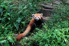 Panda rouge Photos libres de droits