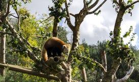 Panda rouge Photos stock
