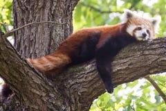 Panda rouge Image stock