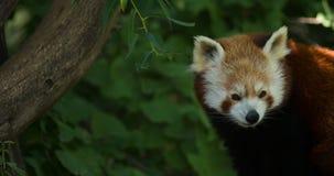 Panda rouge Photo libre de droits