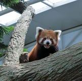Panda rouge Image libre de droits