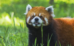 Panda rouge Photographie stock