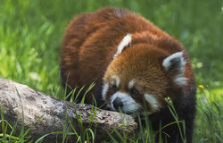 Panda rouge Photographie stock