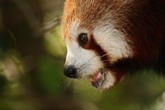 Panda rouge (Ailurus Fulgens Fulgens) Photo libre de droits