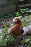 Panda rouge au zoo à Chengdu, Chine Photos stock