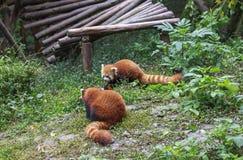 Panda rouge au zoo à Chengdu, Chine Images stock