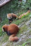 Panda rouge au zoo à Chengdu, Chine Photo stock