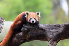 Panda rouge, chat brillant Photographie stock libre de droits