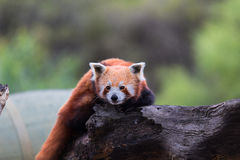 Panda rouge, chat brillant Image libre de droits