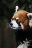 panda rouge dans la faune 2016 Image libre de droits