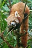Panda rouge dans le Forrest du Sikkim Photographie stock libre de droits