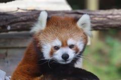 Panda rouge dans le ZOO de Toronto Images stock