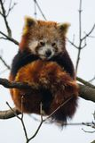 Panda rouge dans un arbre photos stock