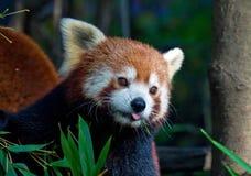 Panda rouge de chéri Photo libre de droits