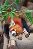 Panda rouge (firefox) Photo stock