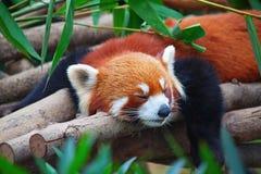 Panda rouge (firefox) Image libre de droits