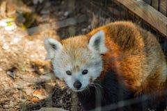 Panda rouge - fulgens d'Ailurus Images libres de droits
