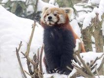 Panda rouge, fulgens d'Ailurus, reveling dans la neige Photos libres de droits