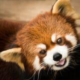 Panda rouge III Photographie stock libre de droits