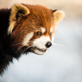 Panda rouge IV Photographie stock