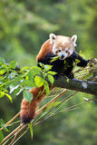Panda rouge mangeant des pousses de bambou Image libre de droits