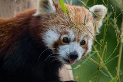 Panda rouge mangeant les feuilles de bambou Photo libre de droits