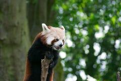Panda rouge mangeant les feuilles de bambou Image stock