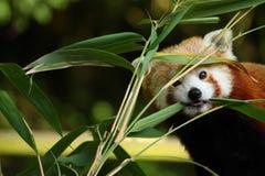 Panda rouge mignon Images libres de droits