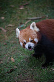 Panda rouge mignon photo libre de droits