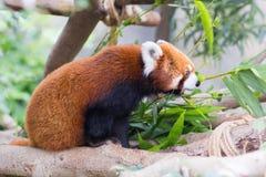 Panda rouge ou Lesser Panda, Firefox se reposant sur la branche Image stock