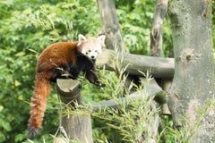 Panda rouge - petit panda Photos libres de droits
