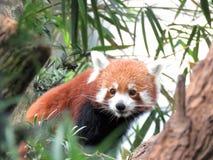 Panda rouge regardant autour Images libres de droits