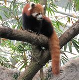 Panda rouge regardant autour Photo stock