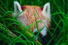 Panda rouge se cachant dans l'herbe grande Images stock