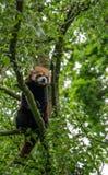 Panda rouge seul se reposant dans un arbre Image libre de droits